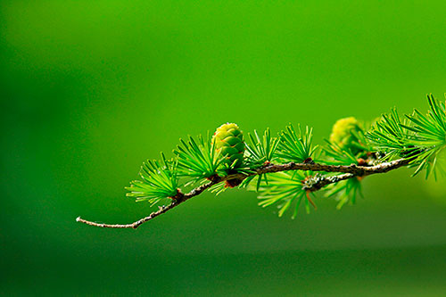 larch_branch_tree.jpg